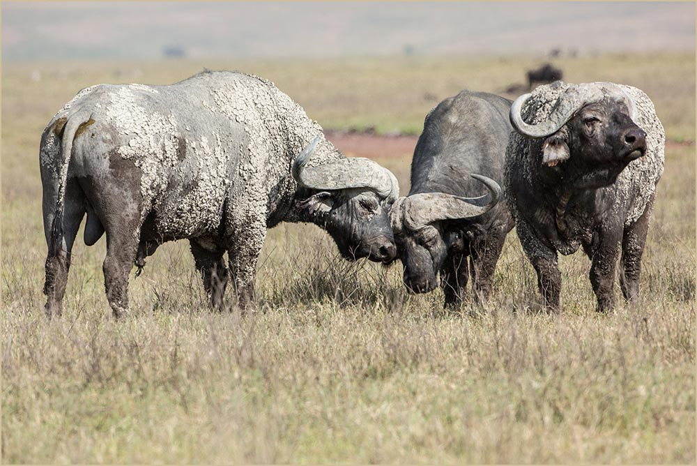T094 Ngorogoro, Büffel / buffalos