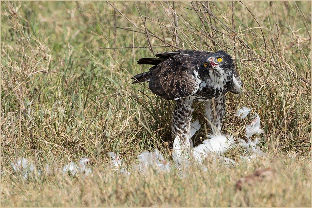 T096 Ngorogoro, Fleckenadler / Ayres' hawk eagle