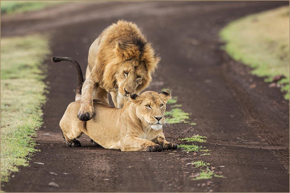 T101 Ngorogoro, Löwenpaarung / lions mating