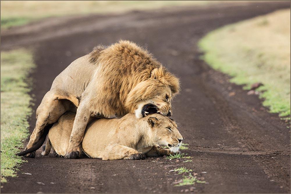 T102 Ngorogoro, Löwenpaarung / lions mating