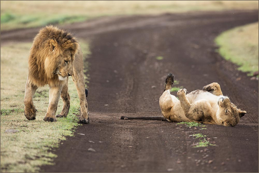 T104 Ngorogoro, Löwenpaarung / lions mating