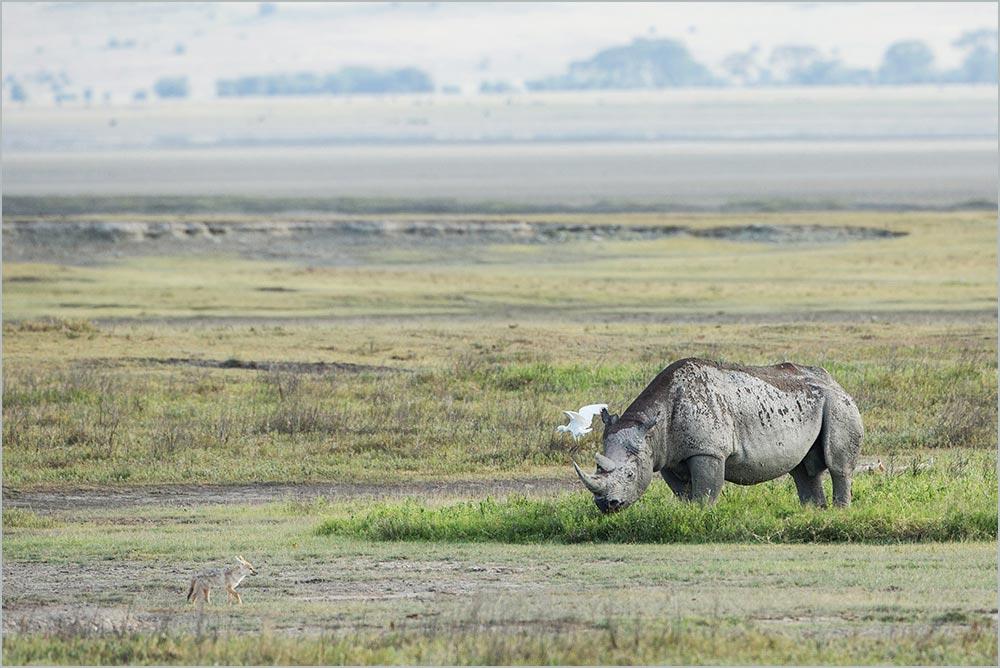 T110 Ngorogoro, Spitzmaulnashorn / black rhinoceros