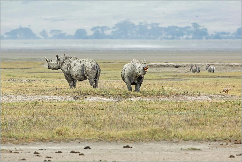 T111 Ngorogoro, Spitzmaulnashorn / black rhinoceros