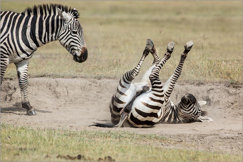 T113 Ngorogoro, Zebras / zebras