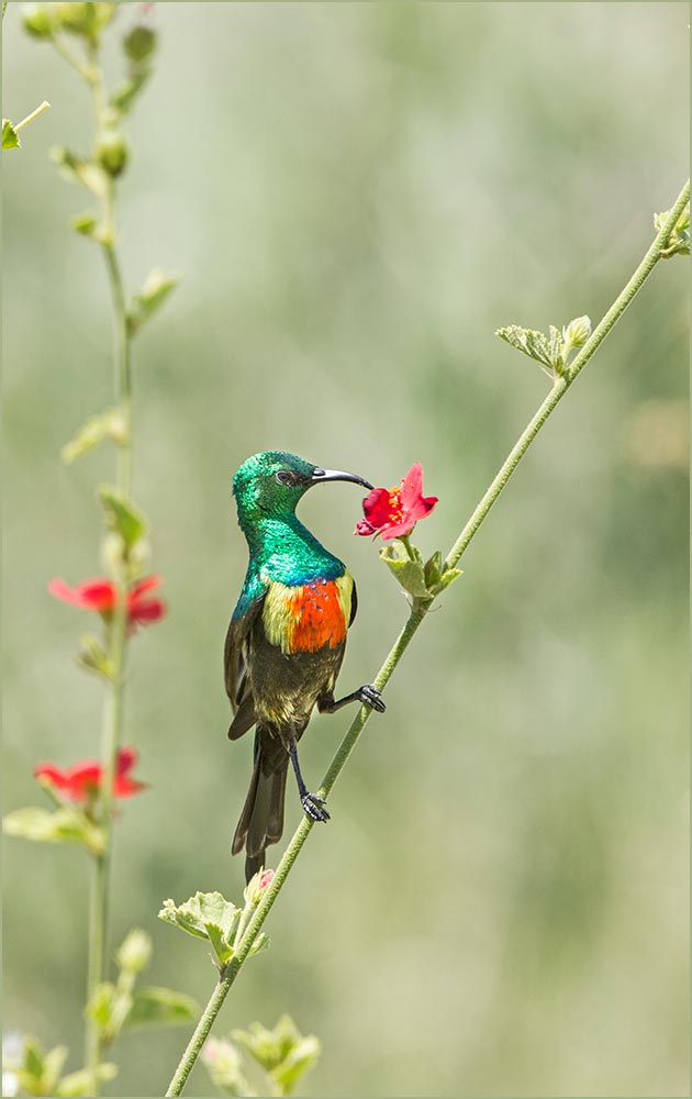 T114 Serengeti, Elfennektarvogel / beautiful sunbird