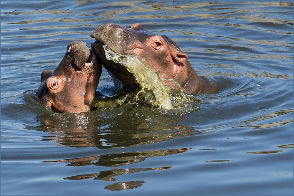 T115 Serengeti, Flusspferde / hippos