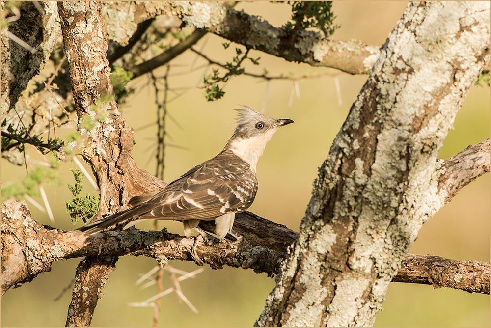 T120 Serengeti, Häherkuckuck / great spotted cuckoo