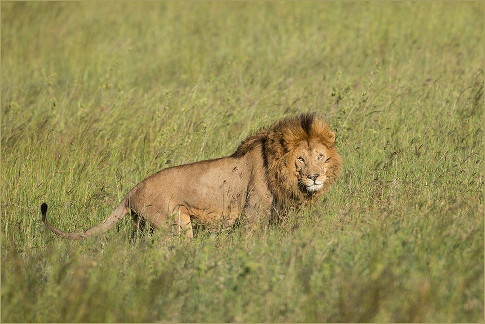 T126 Serengeti, Löwe / lion