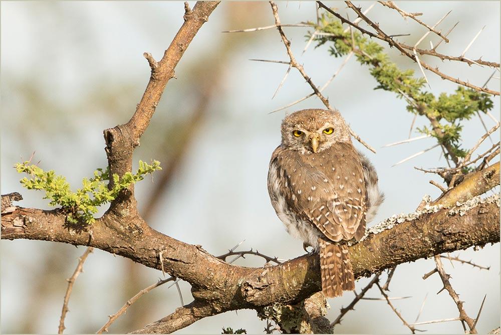 T128 Serengeti, Perl-Sperlingskauz / pearl-spotted owlet