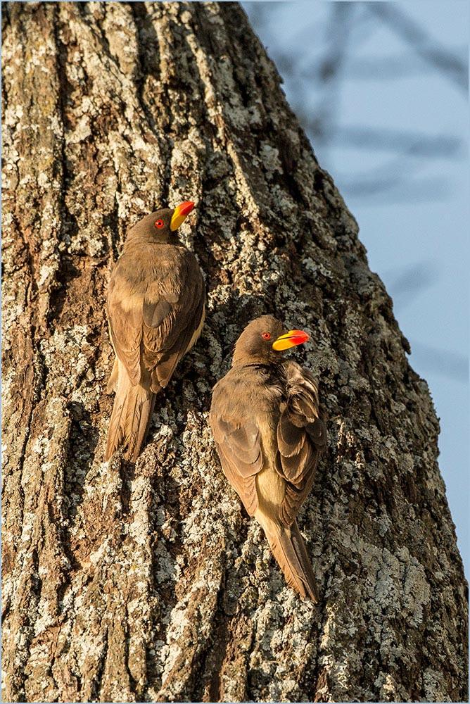 T131 Serengeti, Rotschnabelmadenhacker / red-billed oxpecker