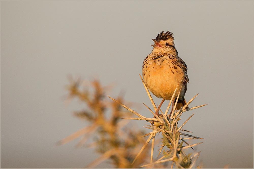T136 Serengeti, Steppenlerche / fawn-coloured lark