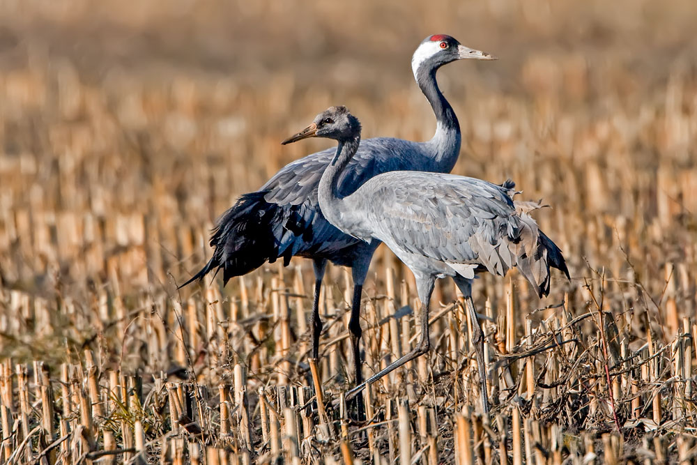 Kraniche / cranes