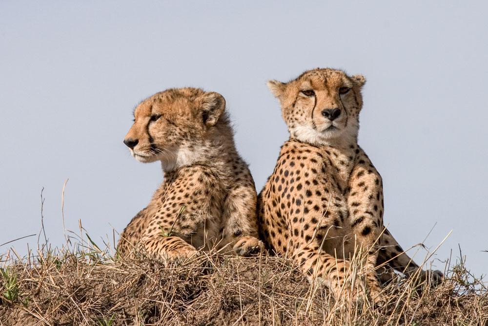 Geparden / cheetahs
