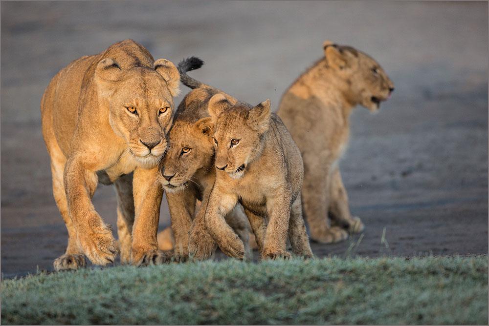 PF11 Löwen / lions