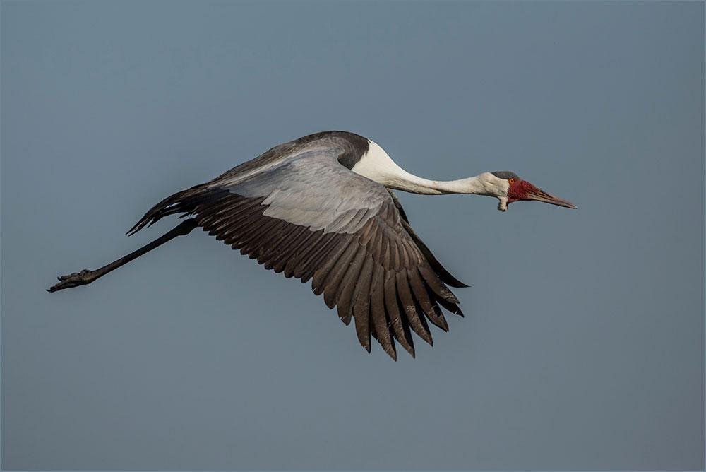 PF12 Klunkerkranich / wattled crane