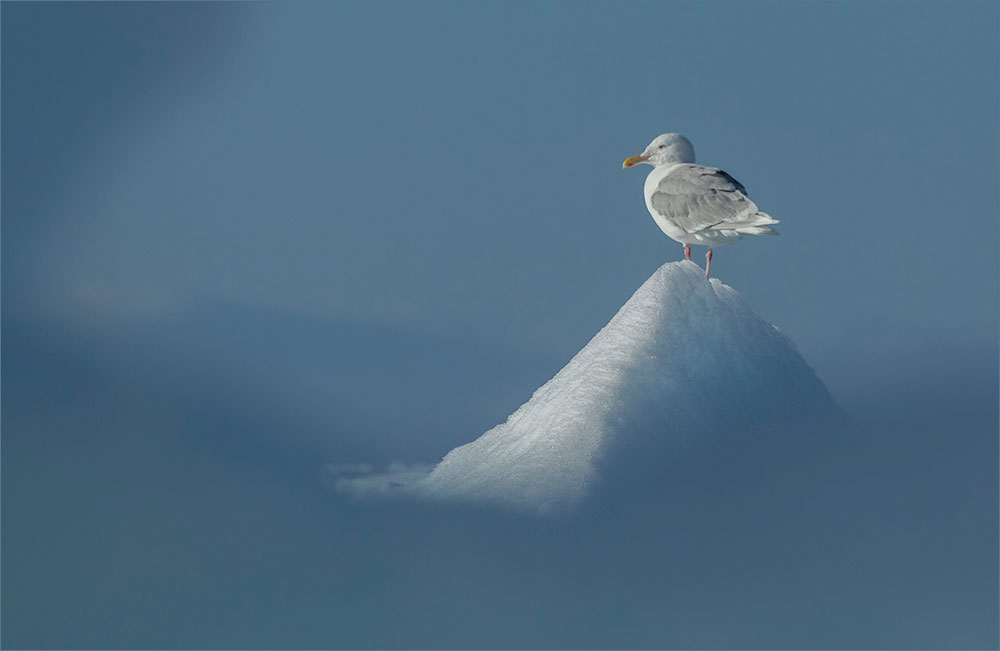 PF25 Eismöwe / glacous gull