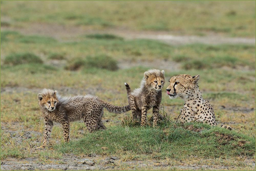 PF26 Geparden / cheetahs