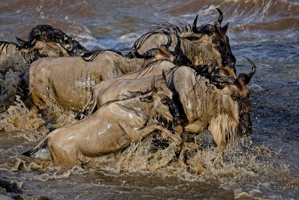 PF37 Gnu-Crossing / wildebeest crossing