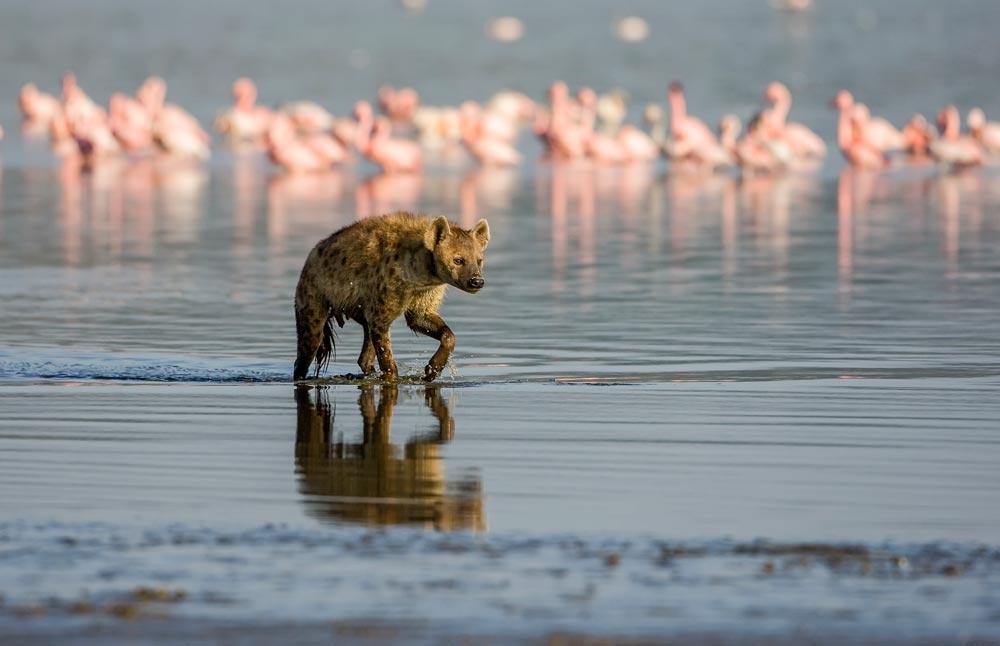 PF39 Hyäne / hyena