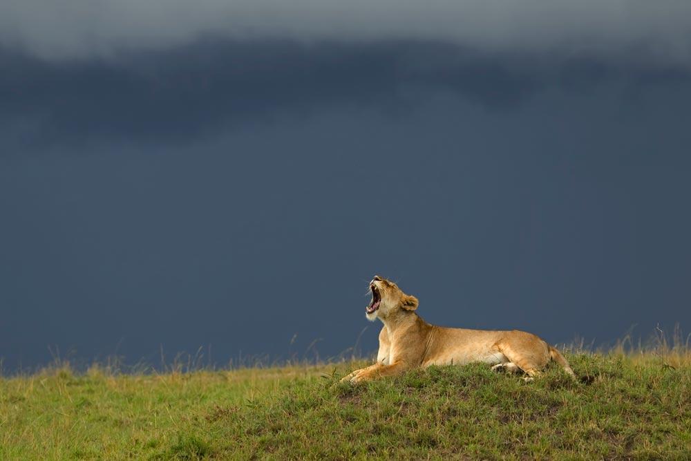 PF57 Löwin vor Regenfront / lioness in front of broad rain front