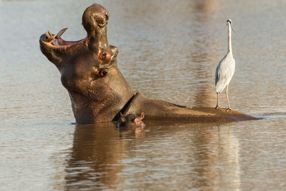 PF60 Flusspferd / hippo