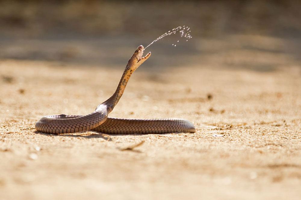 PF61 Speikobra / spitting cobra