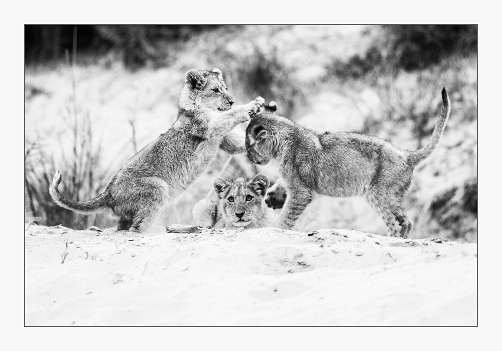 PF66 Löwenbabies / lion cubs