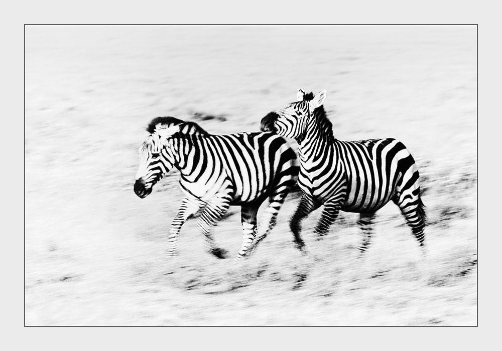 PF67 Zebras / zebras