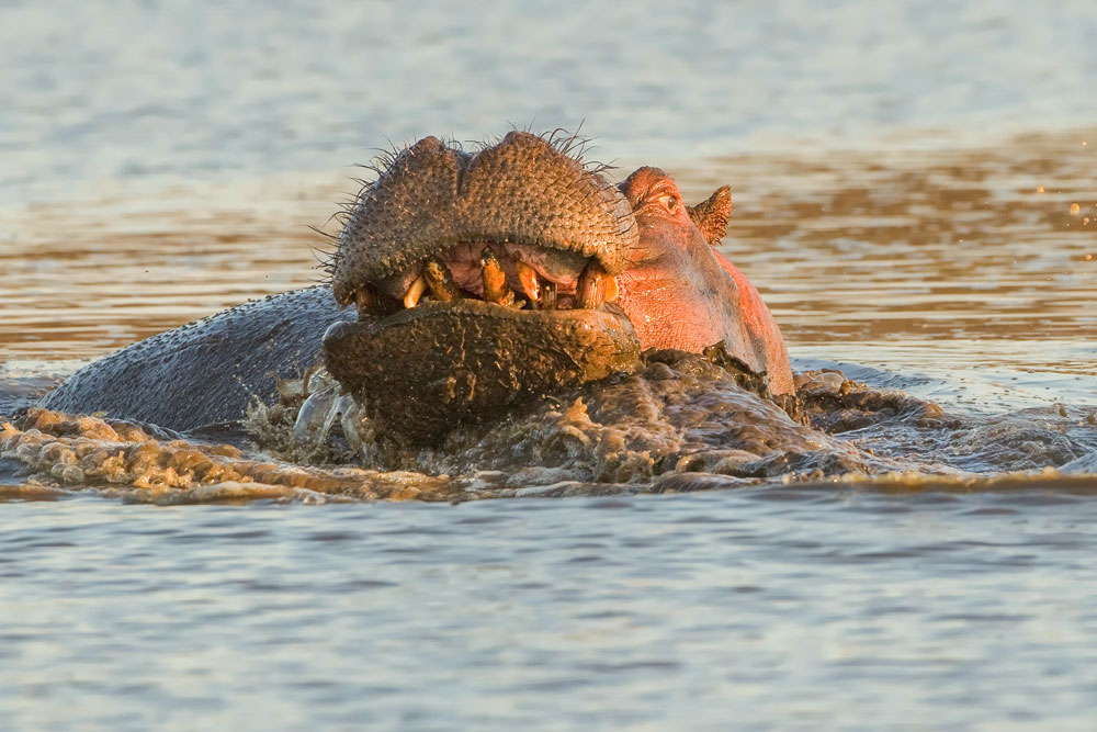 PF71 Flusspferd / hippo