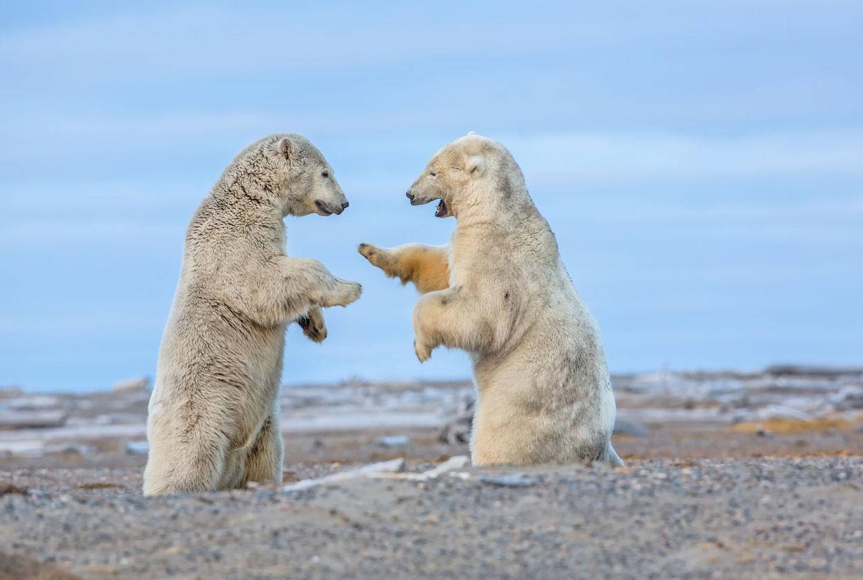 P82 Eisbären / polar bears