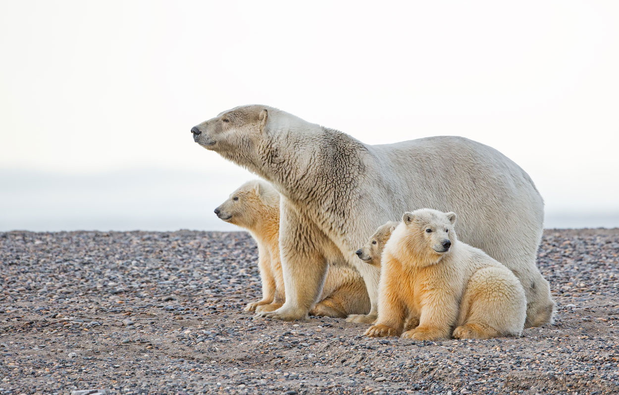 P83 Eisbären / polar bears