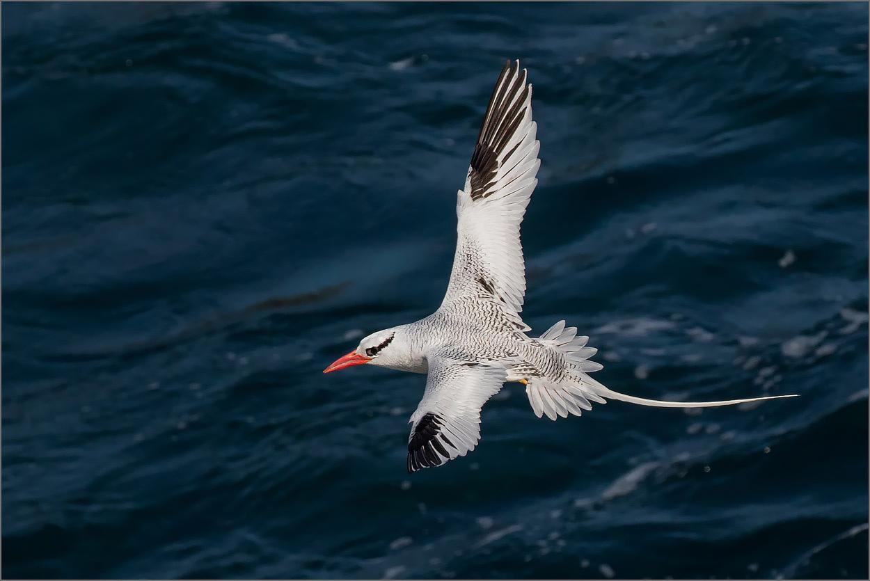 P89 Santa Fe, Tropikvogel / Tropic Bird